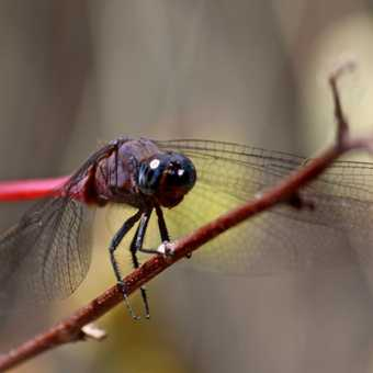 Red-bodied Orthetrum chrysis dragonfly