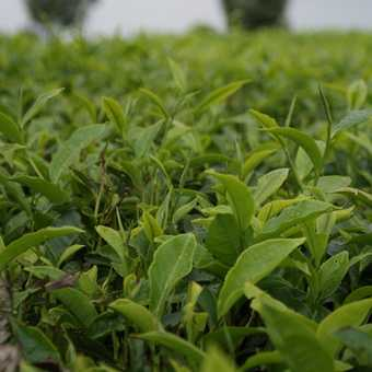 Tea plantation, Kenyan highlands
