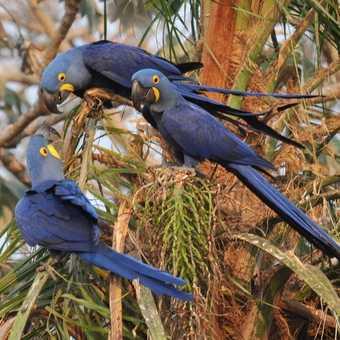 Hyacynth Macaws - Pantanal