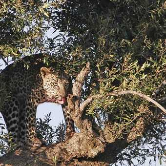 Leopard in tree with kill