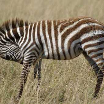 Young Zeba in the Masai Mara, Kenya