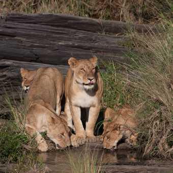 Lion lick