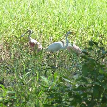 roseate spoonbill + great egret