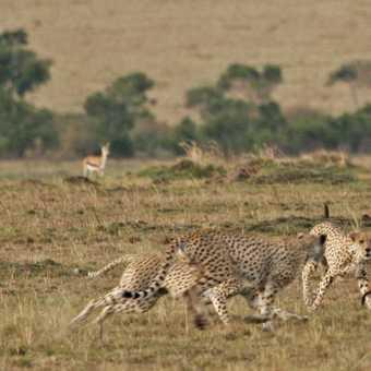 Cheetahs closing in for the kill