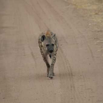 Spotted Hyena, Serengeti NP