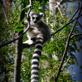 Ring tailed Lemur 2