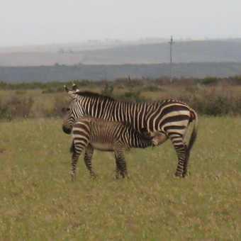 Wildelife - Zebras