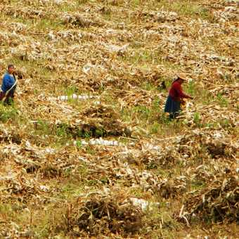 Bringing in the corn in the Sacred Valley.
