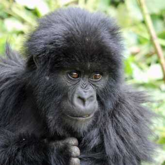 One of twin baby gorillas