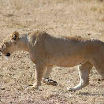 Female Lion Ngorongoro creator