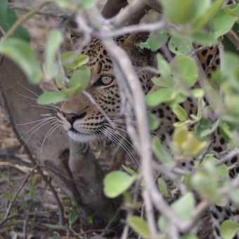 Moremi leopard