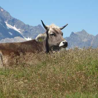 Tyrolean Cow