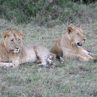 Lions pretending to be domestic cats, how close can we get?