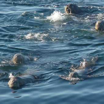Swimming Walrus