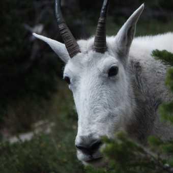 Mountain Goat, Glacier National Park.