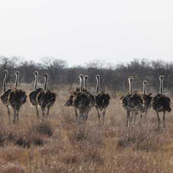 Ostriches on the salt pans