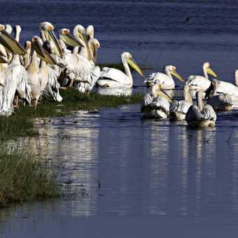 Lake Nakuru birds
