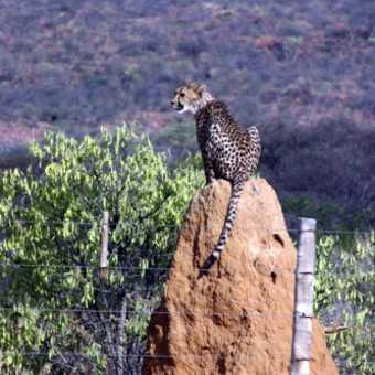 Namibia - Cheetah