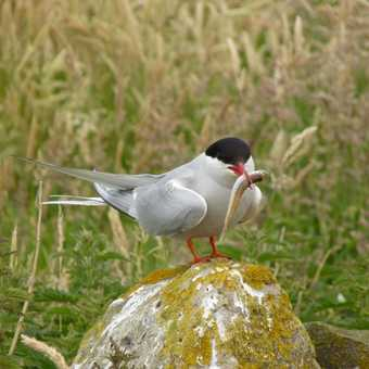 Tern on the Farnes