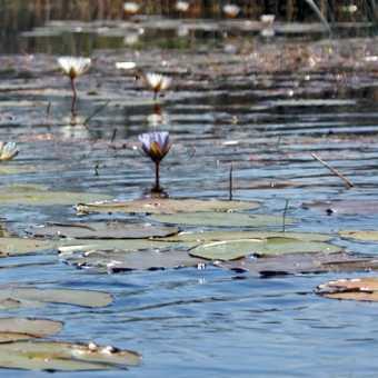 Waterlillies in the Okavango Delta