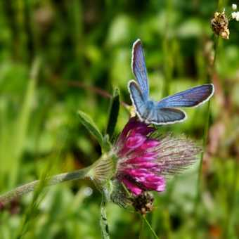 Butterflies -Mazarine Blue