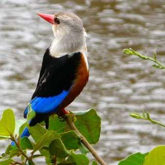 Grey Hooded Kingfisher - Lake Manyara