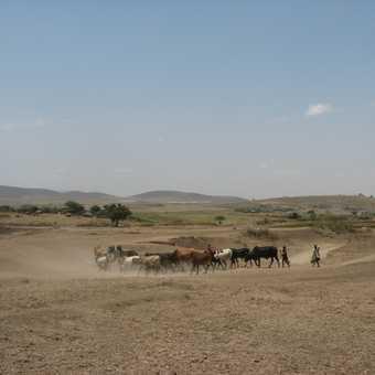 Masai cattle near Arusha