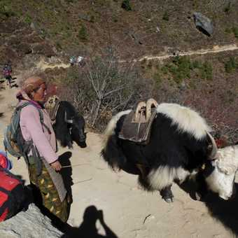 Yaks and herder