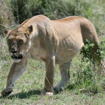 Well-fed lioness - Masai Mara