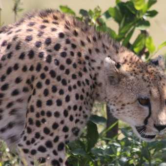 A cheetah shines among the green leaves