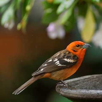 Rufour-collared Sparrow, hotel gardens at Savegre