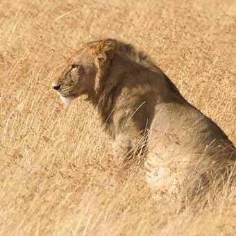 A young King... in Masai Mara