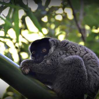 Tired bamboo Lemur