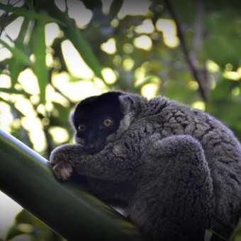 Tired bamboo Lemur