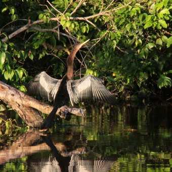 Ashinga in Tortuguero NP