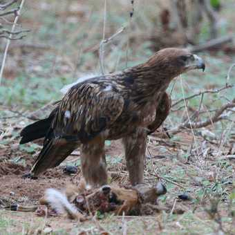 Tawny Eagle with prey, a young Impala