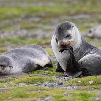 Adelie Penguin: Antarctica