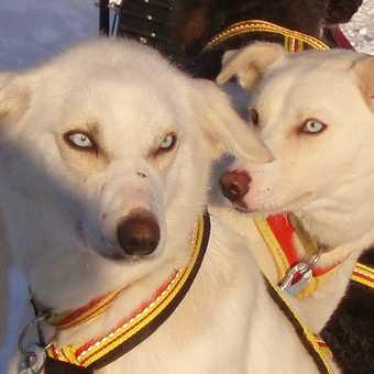 Huskies waiting to go dog-sledding