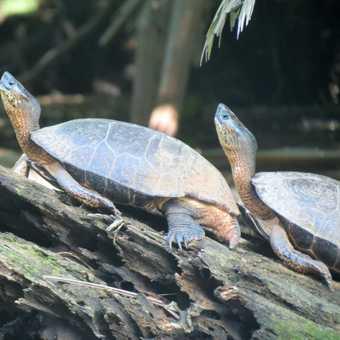 River Turtles - Tortuguero