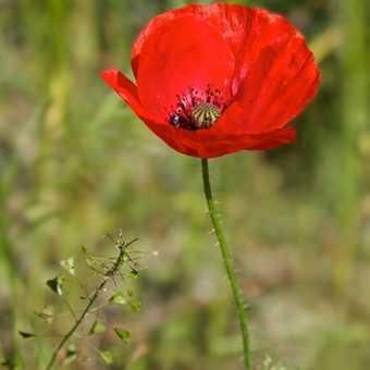 Flowers - Poppy