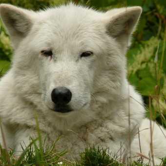 Winnipeg Wolf