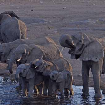 Thirsty elephant family