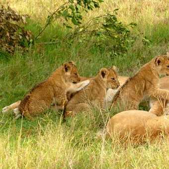 3 month old lion cubs