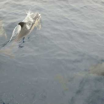 A common dolphin