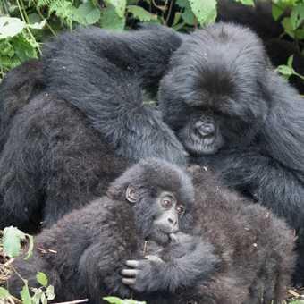 Gorilla grooming
