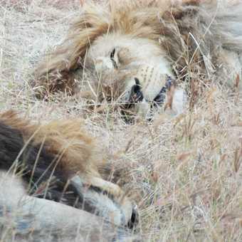 ncorongoro crater ..... sleeping lions