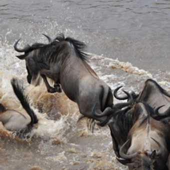 Wildebeest crossing the Mara