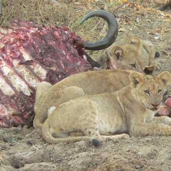 Lion Kill 1