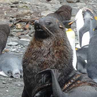 King Penguins Salisbury Plain