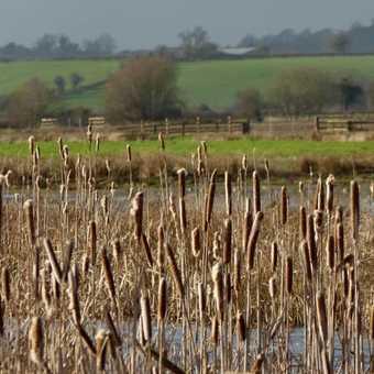 Greylake reeds